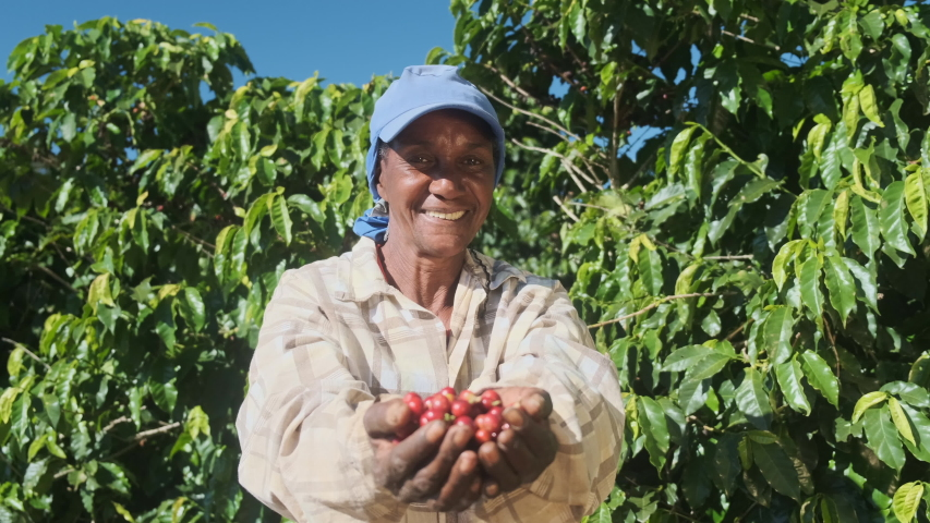 Woman American African farmer showing picked red coffee beans in his hands. Woman coffee farmer is harvesting coffee in the farm, arabica coffee.