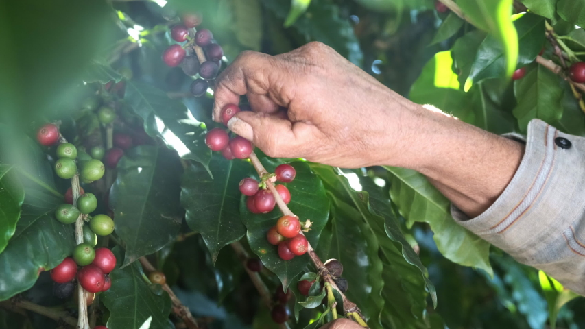Arabica coffee being picked manually by woman agriculturist hands. Brazilian special coffee. Cinematic 4K. | Shutterstock HD Video #1033285214