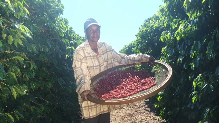 Smiling woman from Brazil picking red coffee seed on coffee plantation. | Shutterstock HD Video #1033298357