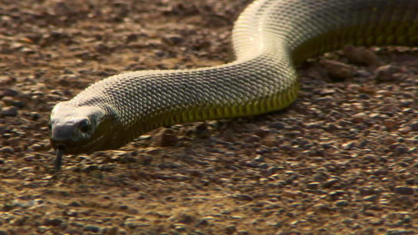 Front view of a venomous inland taipan snake slithering across sand warily