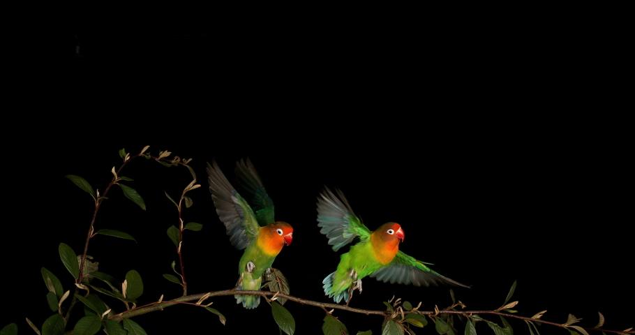 Fischer's Lovebird, agapornis fischeri, Pair standing on Branch, taking off, in flight, slow motion 4K