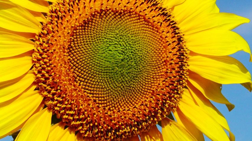 Sunflower flower against the sky, close-up. Ukraine | Shutterstock HD Video #1033364093