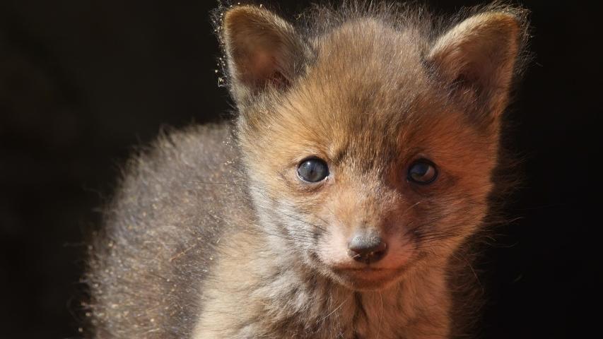 Red fox cub locking out of den, wildlife - vulpes vulpes - UHD/4K stock video