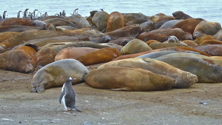ANTARTICA - CIRCA 2018 -Antarctica Gentoo penguins cross in front of Elephant Seals on Livingstone Island.