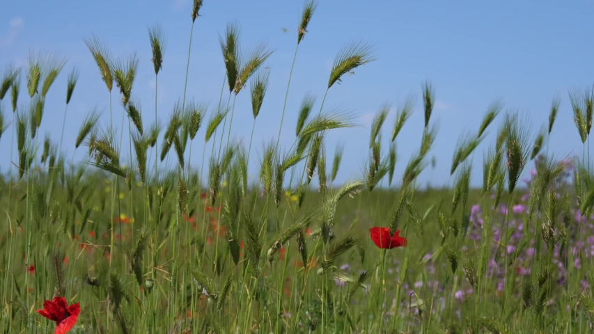 Crimea view poppy flowers in Hersones | Shutterstock HD Video #1033384220