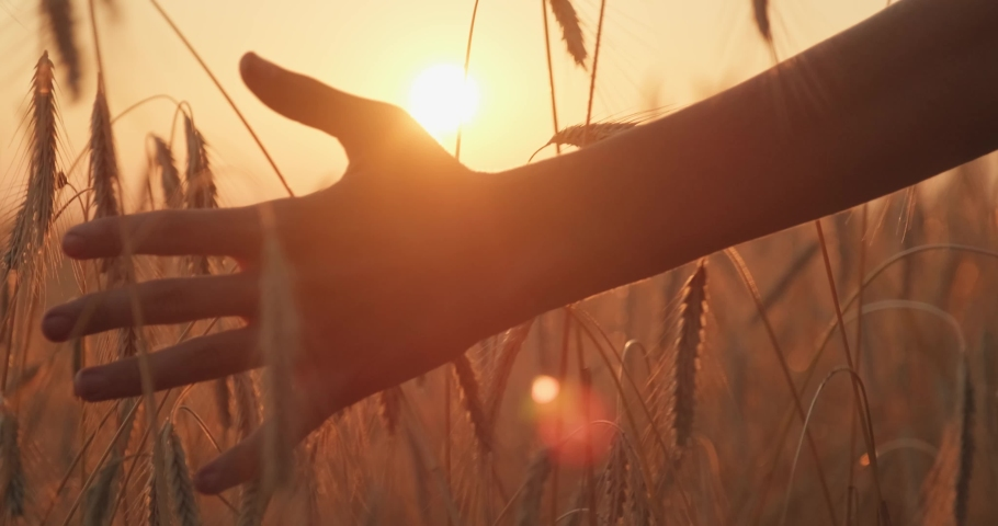 Male hand touching a golden wheat ear in the wheat field.  Young man's hand moving through wheat field. Boy's hand touching wheat during sunset. Slow motion. 4k footage.