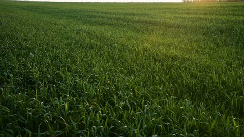 Sunset panorama of a green field with agricultural crops. Live camera 4k