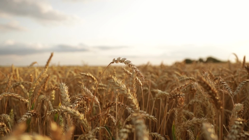 Agriculture landscape. farm with wheat footage | Shutterstock HD Video #1033414796