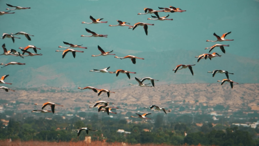 Slow motion tracking shot wild flamingos fly away from salt flat, Spain