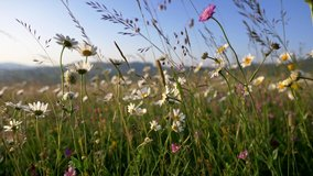 White daisy flowers field meadows. Camera moving through alpine flowering meadows in sunset lights.
