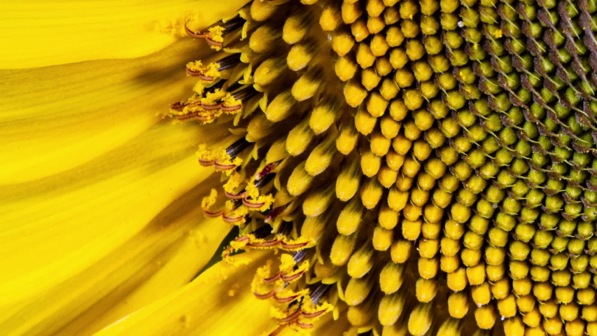 Yellow Sunflower Head Blooming in Time Lapse | Shutterstock HD Video #1033477556