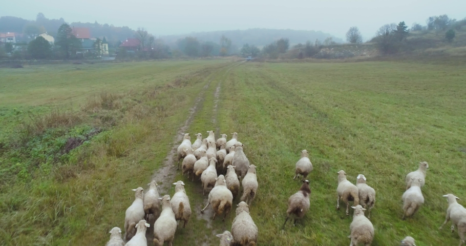 Aerial view of herding sheep in a field