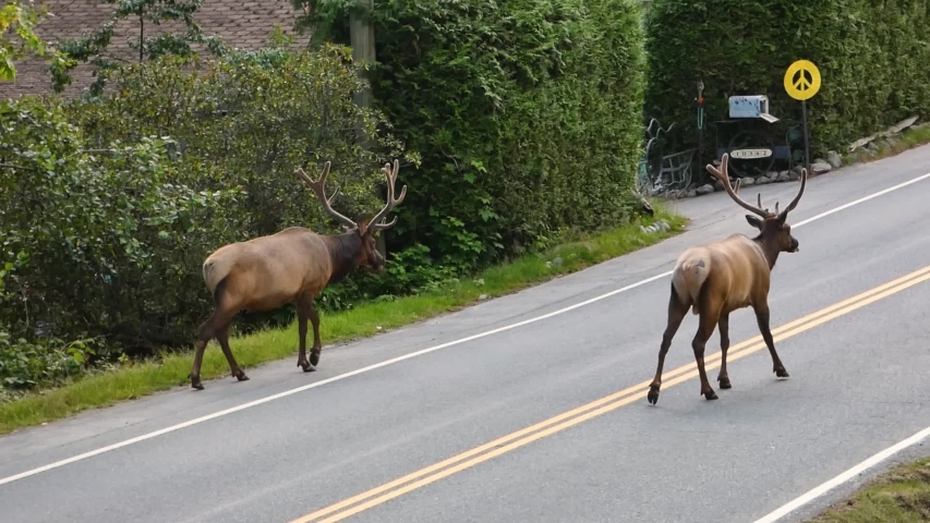Elk with antlers on road in small town Canada