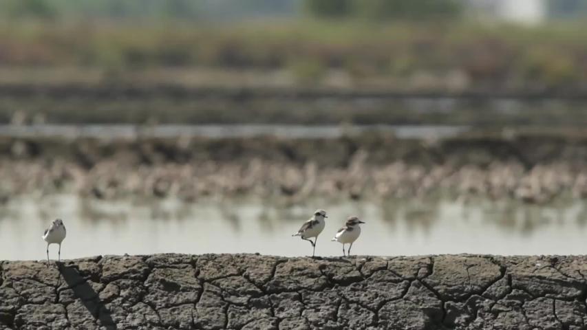 Three birds standing on a ridge of Salt farm. at Khok Kham of Samut sakhon province, Thailand's sea salt production source. | Shutterstock HD Video #1033552268