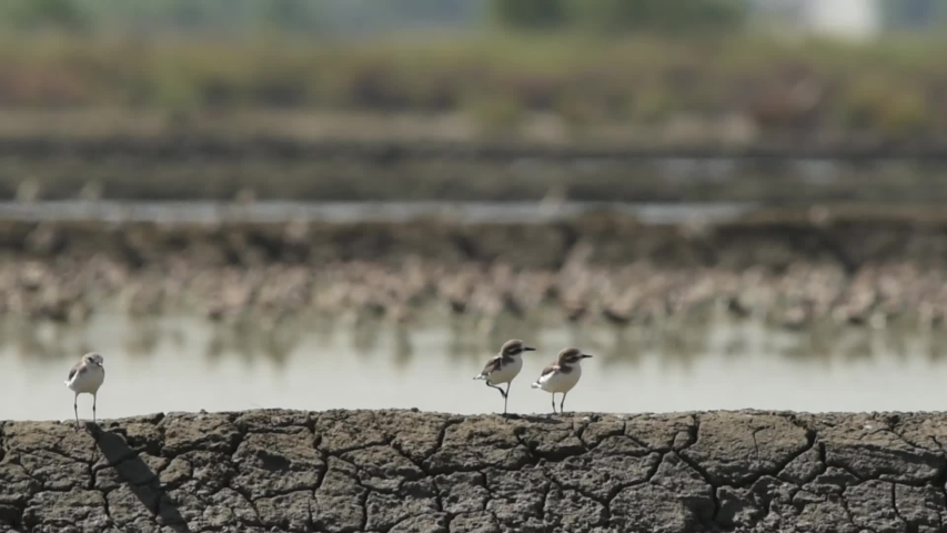 Three birds standing on a ridge of Salt farm. at Khok Kham of Samut sakhon province, Thailand's sea salt production source. | Shutterstock HD Video #1033552274