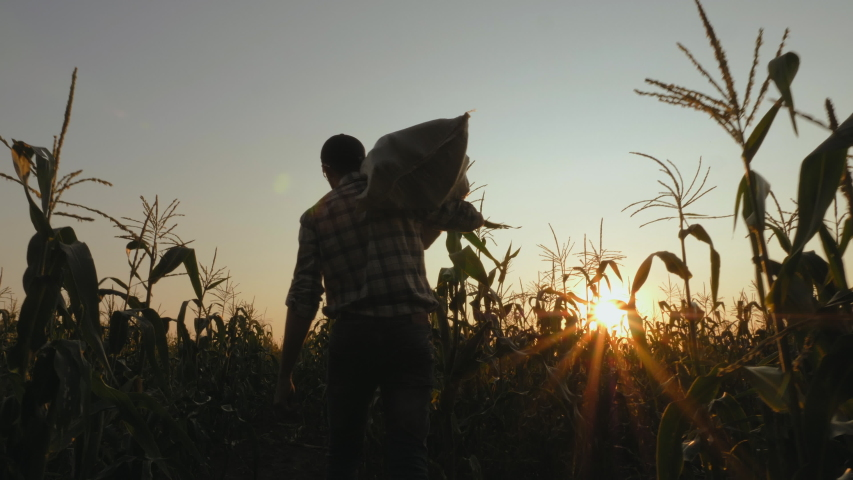 Steadicam shot of young farmer going on the field with a full bag of corn at sunset. Real working process of picking harvest on the organic eco farm, slow motion.