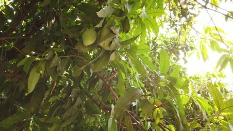 Mango fruit blowing in the wind on a mango tree with sun flare.