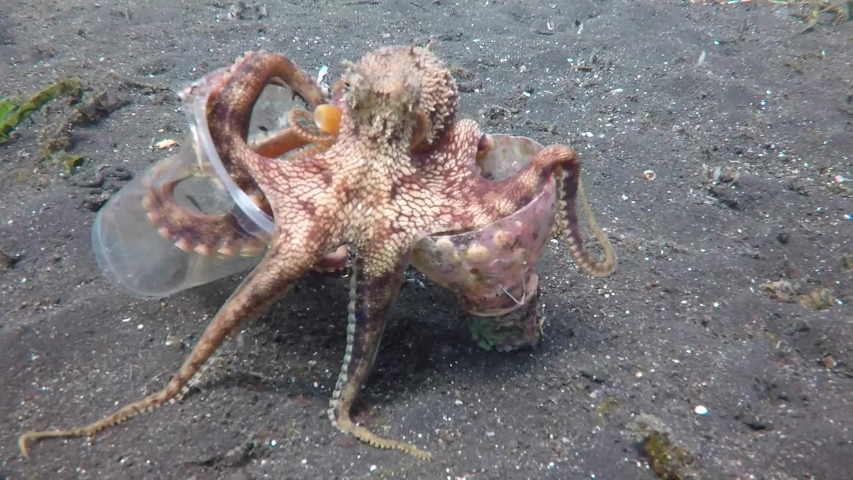 A Coconut Octopus walks on the ocean floor with the discarded plastic cup and bottle it has collected for it's home.