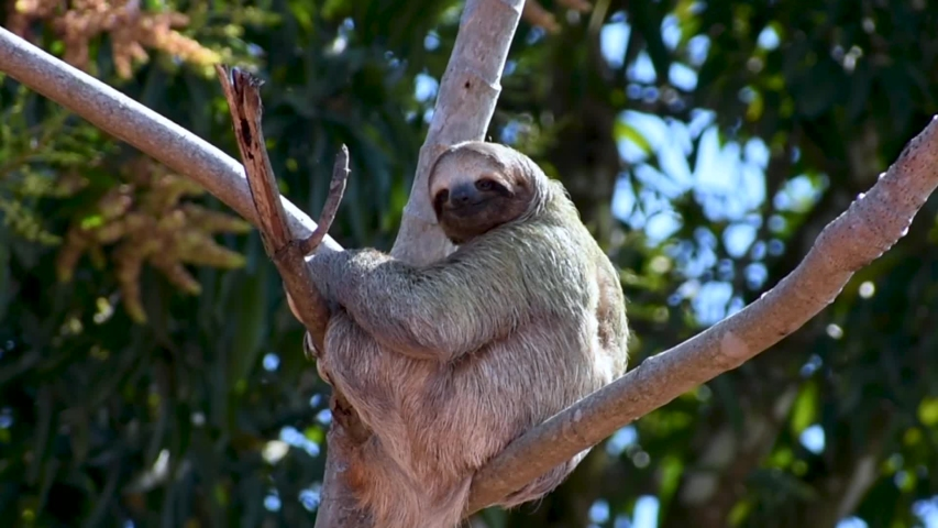 Wild three-toed sloth sits in a tree and looks around - Costa Rica | Shutterstock HD Video #1033636262