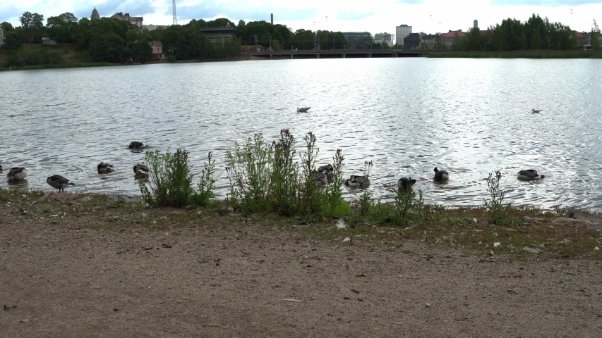 The Canadian Goose Group is washed in the cityscape by the sea bay, UHD