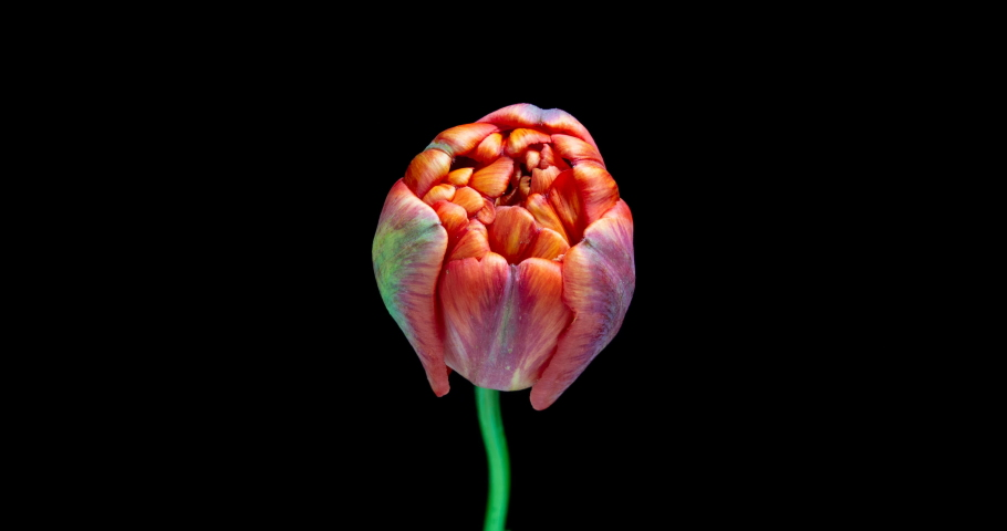 Timelapse of red tulip flower blooming on black background, alpha channel | Shutterstock HD Video #1033637666
