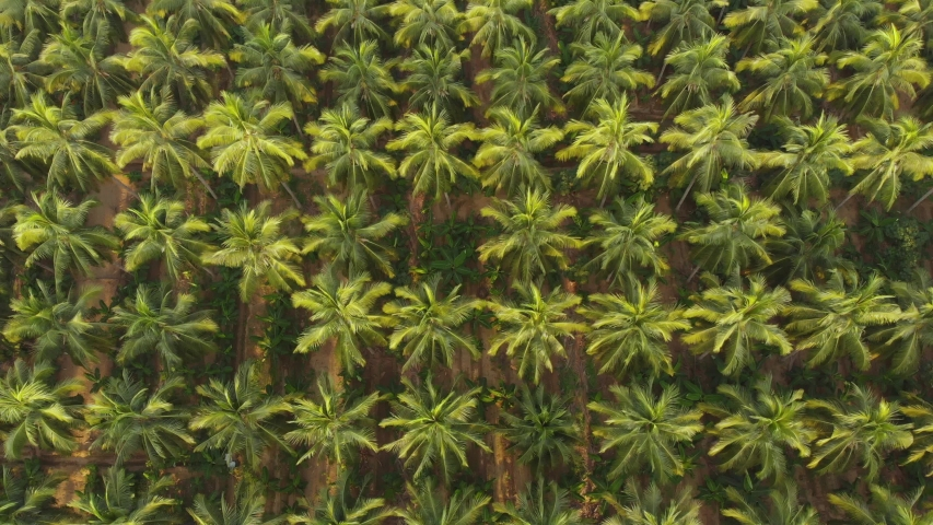 Aerial view of coconut farm. green coconut trees neatly aligned with intercrop banana  plantation.