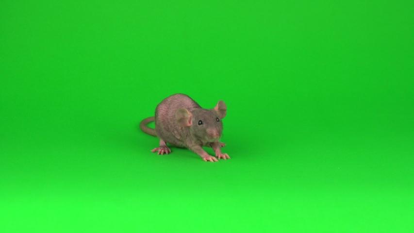 Rat Dumbo Sphinx on green screen background | Shutterstock HD Video #1033697372