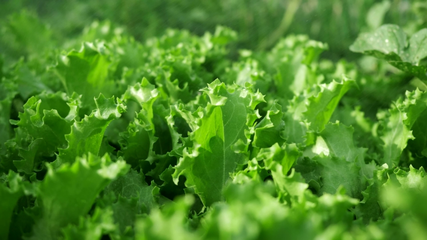 Watering green growing salads vegetable. Farming scene: fresh salad leaves with water drops. Evening sunlight and water droplets on vegetable leaves. Organic food for health concept. | Shutterstock HD Video #1033713830