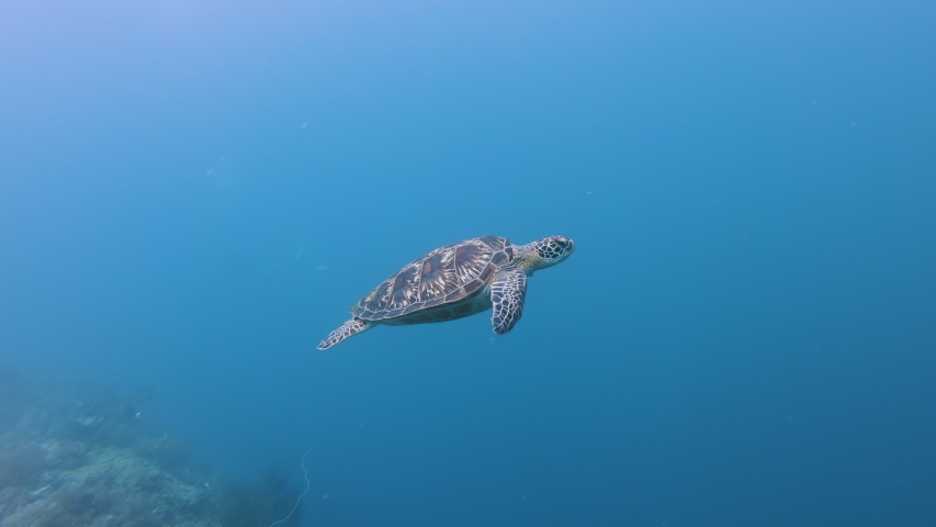 A Green Sea Turtle (Chelonia Mydas) on a tropical coral reef in the Philippines