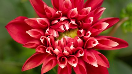 Time lapse of blooming Red Flower. Beautiful Dalia opening up. Timelapse of growing blossom big flower on green leaves background. Top view.