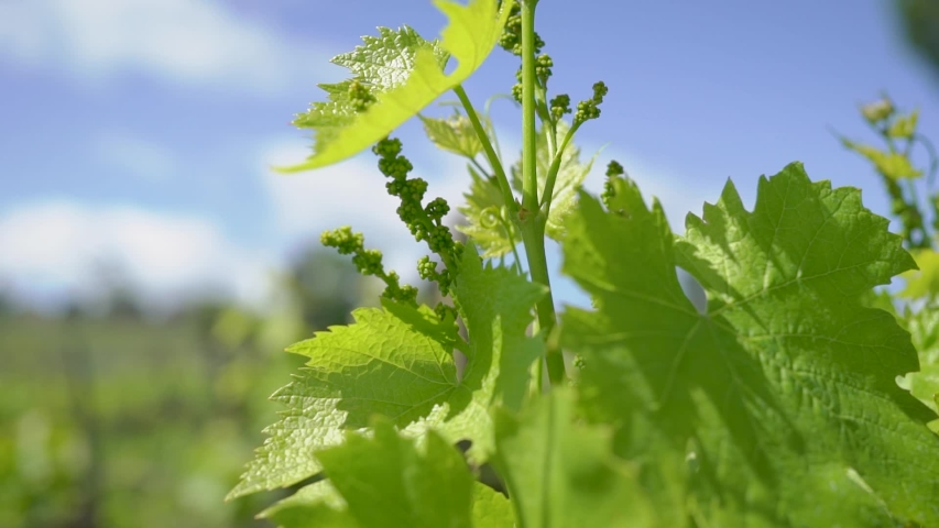 Vines of grapes. In Europe, engaged in the production of wine.   Shutterstock HD Video #1033871408