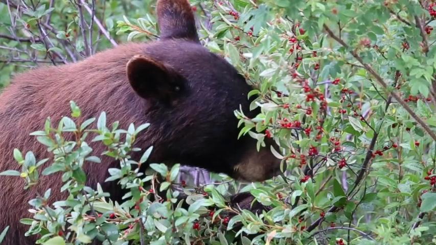 Black bear cub eating berries in National Park in Canada.