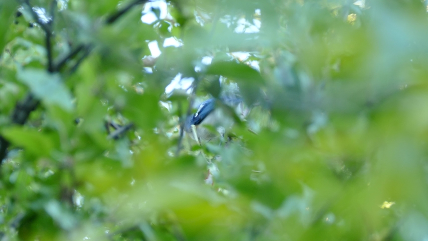 Blue jay seen thru blurry leaves pecking at apple in orchard tree in Canada #1034137238