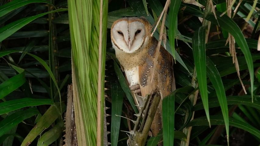 Common Barn Owl in Malaysia Paddy Field