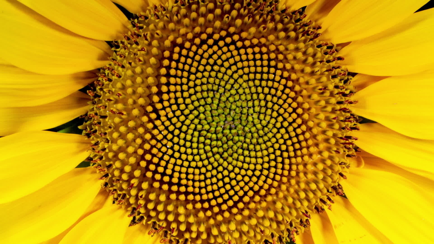 Yellow Sunflower Head Blooming in Time Lapse | Shutterstock HD Video #1034163251