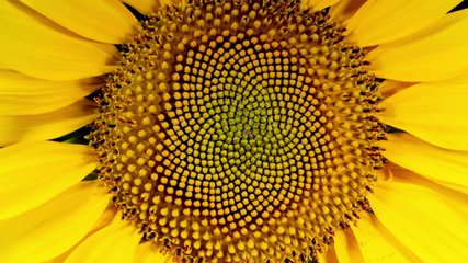 Yellow Sunflower Head Blooming in Time Lapse
