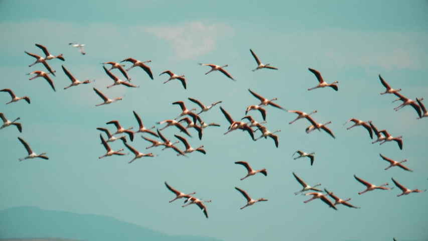 Wild flamingos sail through the air over Spain. Amazing large pink birds in flight. Slow motion, tracking view of nature in action.
