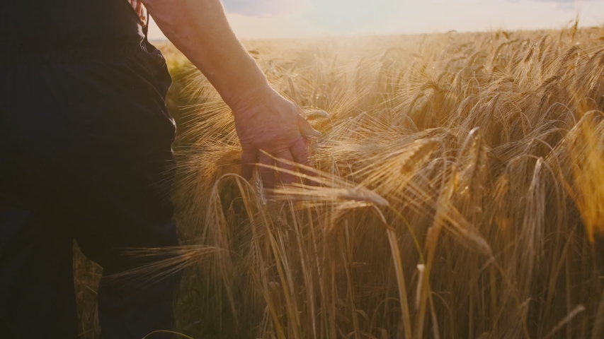 Close up of the Caucasian male hand of the farmer touching and caressing spikes of the golden wheat while he walking his field towards the sun shining. Golden wheat field #1034243546