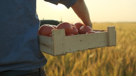 Man farmer holding box of organic vegetables in sunset field: carrots, potatoes, zucchini, tomatoes. Farmer's market: Organic Farming. Agriculture Farm Harvest Crop slow-motion, sun lens flare. 4k