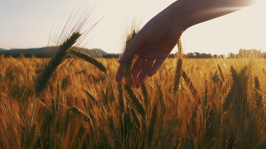 Young female hand gently touches grains of wheat in a field. Sun flare shines in the background. Eco bio food is grown with care. | Shutterstock HD Video #1034277527
