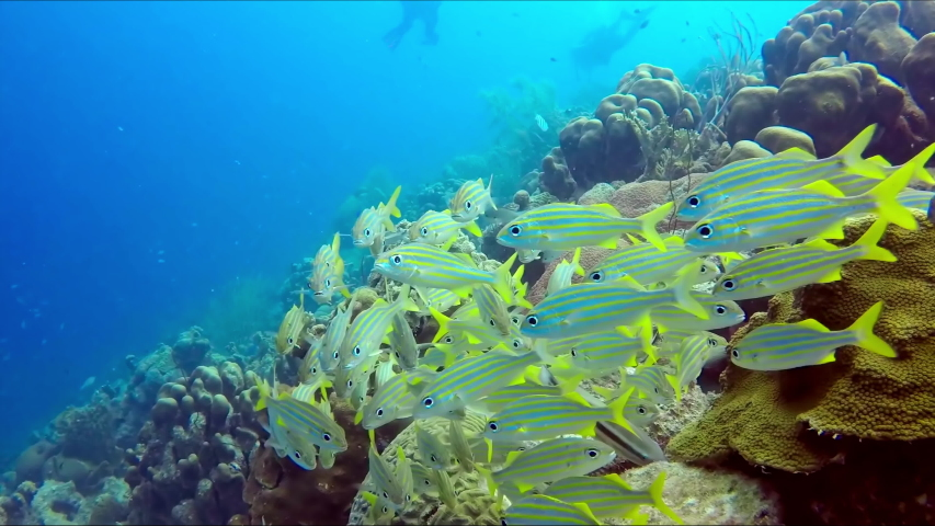 A flock of a small yellow fish close up and the group of scuba divers at backstage