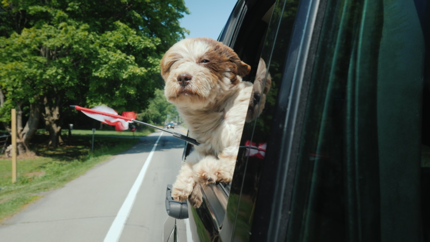 A dog with the flag of Canada looks out of a car window. Road Trip Canada   Shutterstock HD Video #1034355932