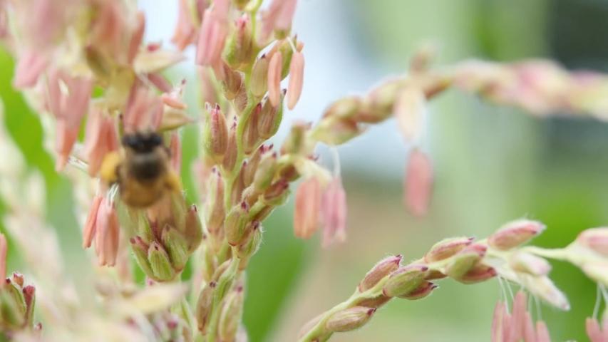 Closeup Bee flower corn plant. | Shutterstock HD Video #1034380922