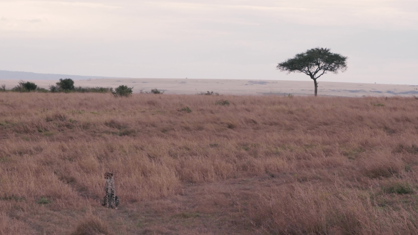 Cheetah cub resting lonely without mother in dry savanna, Maasai Mara | Shutterstock HD Video #1034518715