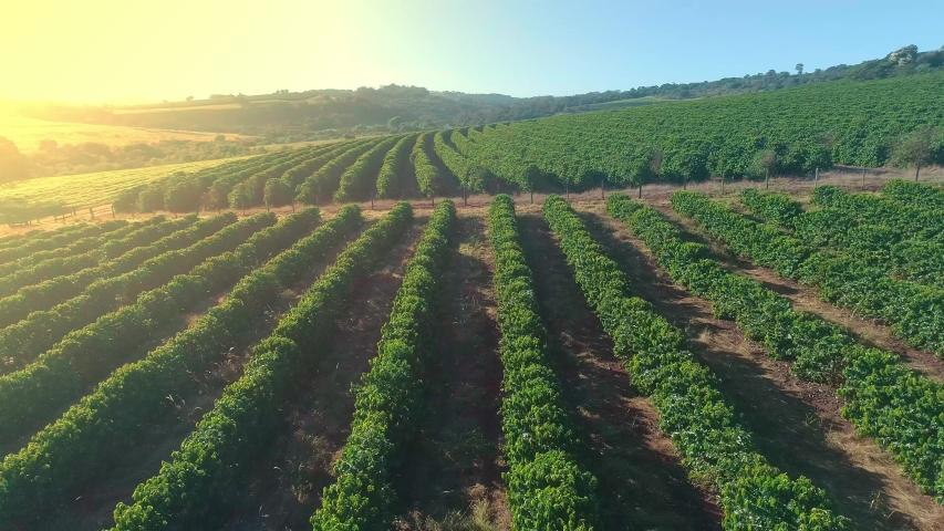 Aerial view of a coffee farm. Coffee plantation. Coffee growing. 4K. Premium cinematic video.