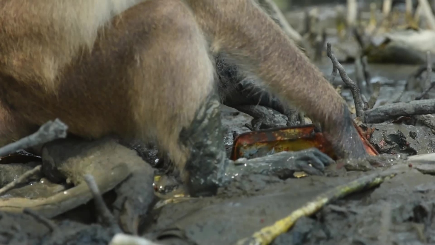 The Crab-eating Macaque or monkey Use hand digging mud for crabs to eat. at Laem Phak Bia, Gulf of Thailand, Phetchaburi, Thailand.  | Shutterstock HD Video #1034576288