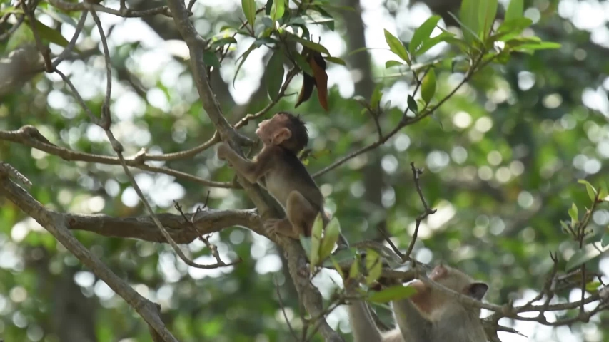 The Crab-eating Macaque or monkey sitting on the mangrove tree and pull the leaves to eat. at Laem Phak Bia, Gulf of Thailand, Phetchaburi, Thailand.  | Shutterstock HD Video #1034576291