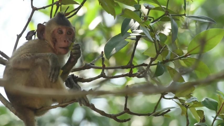 The Crab-eating Macaque or monkey sitting on the mangrove tree and pull the leaves to eat. at Laem Phak Bia, Gulf of Thailand, Phetchaburi, Thailand.  | Shutterstock HD Video #1034576294
