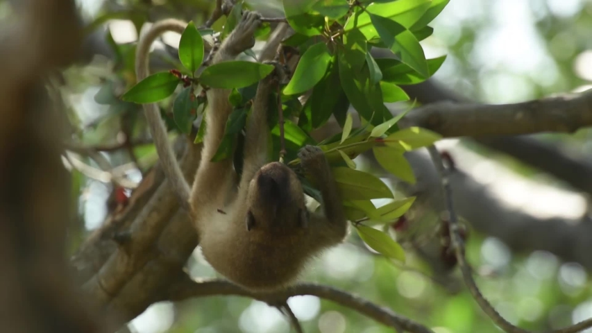 The Crab-eating Macaque or monkey bite to eat treetops. at Laem Phak Bia, Gulf of Thailand, Phetchaburi, Thailand.  | Shutterstock HD Video #1034576417