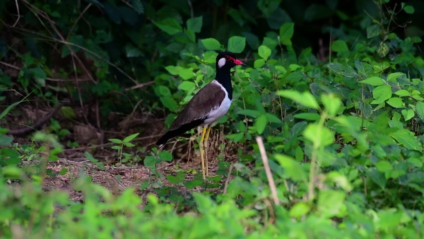 The Red-wattled Lapwing is one of the most common birds of Thailand; when it is approached, it make a loud high pitch alarm call to keep the intruder from approaching.